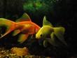 Slow goldfish