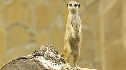 Meerkat standing on the log.