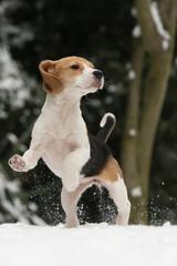 Beaglewelpe springt im Schnee