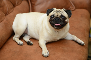 Pug dog sitting on the sofa