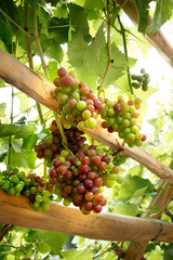 Vigneto con uva in maturazione