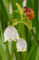 Marienkäfer auf Knotenblume mit Wassertropfen