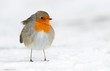 Robin in the winter