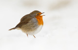 Robin in a cloud off white snow