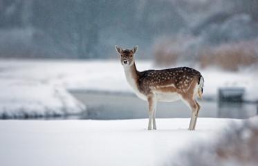 Fallow deer in the snow
