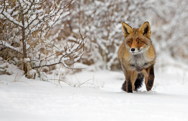 Red fox walk through the snow