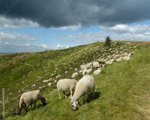 Un troupeau de moutons blanc paisant dans un cractère auvergnat