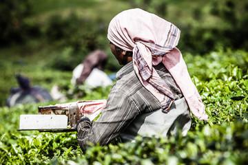 Woman picking tea leaves in a tea plantation,Munnar India