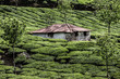 Tea plantation in Munnar, India