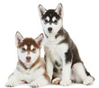 Two Siberian husky puppy isolated