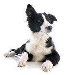 puppy border collie - 48615896
