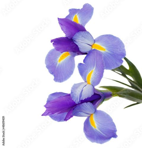 Papiers peints Iris irises flowers