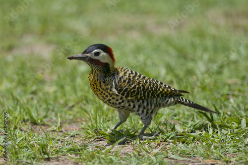 Striped Woodpecker on the Grass
