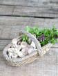 Basket of mushroom, sweet basil and coriander leaves