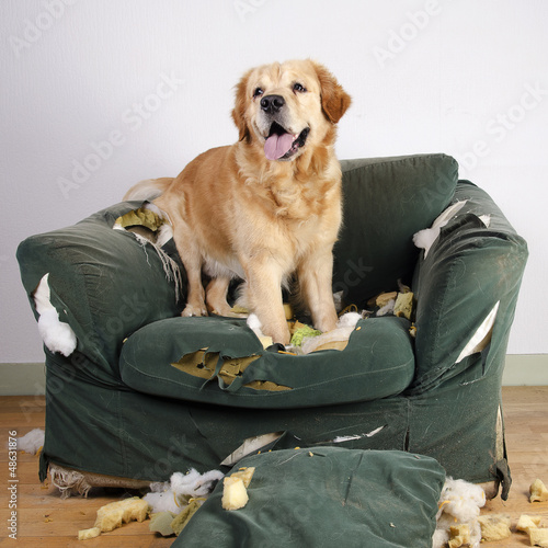 Golden retriever dog demolishes chair