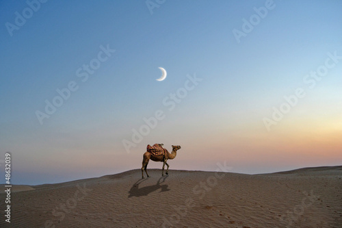 Camel in the desert sand of the Sahara - Tunisia, africa