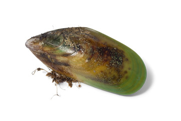 Fresh raw New Zealand green lipped mussel