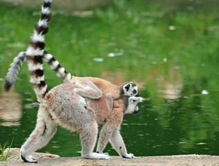 Ring-tailed Lemur with her baby
