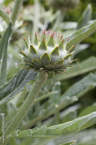 Artichoke growing on a stem