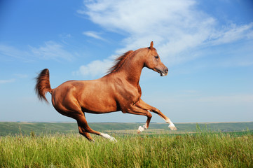 Beautiful red arabian horse running gallop