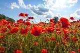 Mohnblüten vor sonnigem Himmel - 48643486
