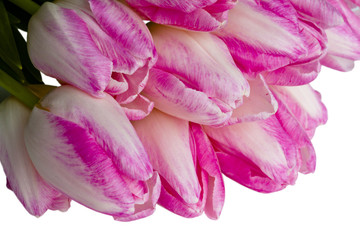 Pink tulips as a background on white.