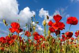 Fototapety Vor blauem Himmel freigestelllte Mohnblüten