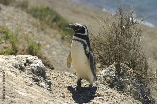 Magellan penguin (Tierra del Fuego-Argentina)