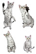 Active Egyptian Mau Cats
