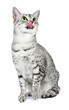 Egyptian Mau Cat Licking Lips