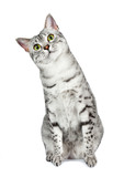 Curious Egyptian Mau tilts head left