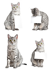 Advertising egyptian mau cats