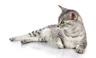 Relaxing Egyptian Mau cat