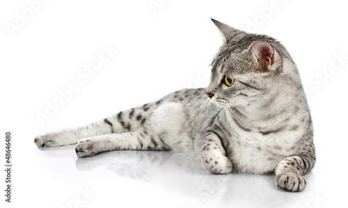 Relaxing Egyptian Mau cat