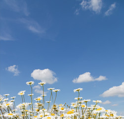 chamomile and blue sky with clouds