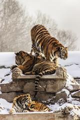 Siberian Tigers in Harbin China
