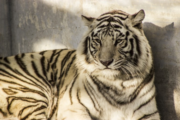 White Siberian Tiger in Harbin China