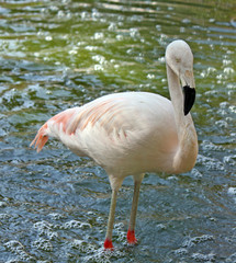 Pink flamingo alone standing in the water