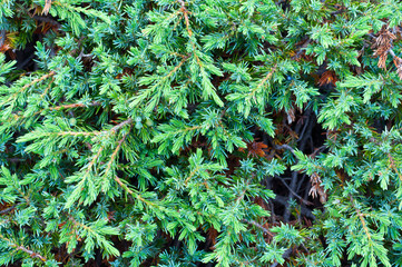 mountain juniper