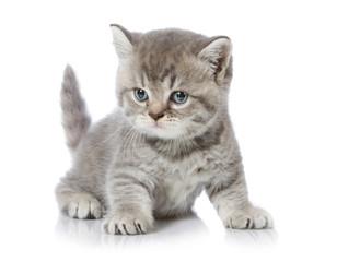 five weeks old british short hair kitten