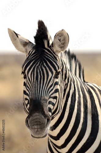 Close-up of Burchell's zebra (Equus quagga burchellii)