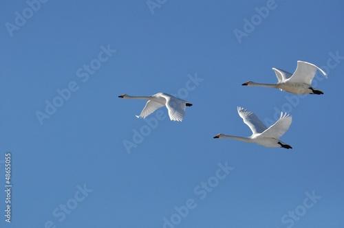 Papiers peints Cygne 白鳥の飛翔