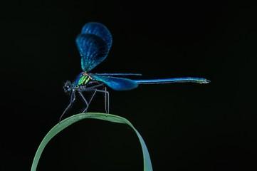 Calopteryx splendes