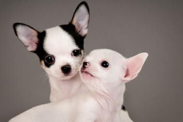 Two Chihuahua puppies.