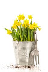 Large Bucket Of Daffodils