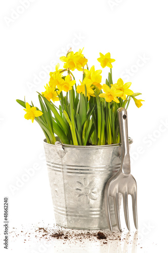 Large Bucket Of Daffodils