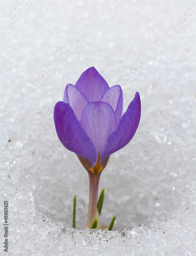 Deurstickers Krokussen violet crocus in a snow