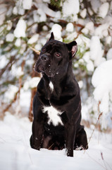 cane corso dog portrait on snow