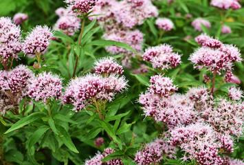 Valerian flowers.