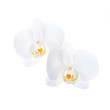 Two white orchid flowers isolated on white background